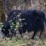 national-animal-takin